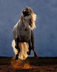 Great action shot!  Andalusian Horse