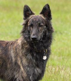 Dutch Shepherd Dog...I want this dog!!!