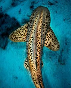 sea life - sea life photography - sea life underwater - sea life artwork - sea life watercolor sea l Zebra Shark, Leopard Shark, Shark Art, Underwater Animals, Underwater Creatures, Underwater World, Save The Sharks, Types Of Sharks, Beautiful Sea Creatures