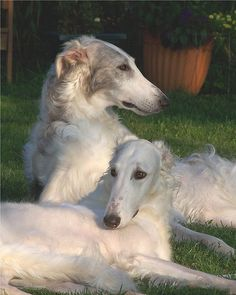 Borzoi also called the Russian Wolfhound Russian Wolfhound, Irish Wolfhound, Beautiful Dogs, Animals Beautiful, Beautiful Couple, I Love Dogs, Cute Dogs, Borzoi Dog, Whippets