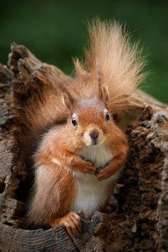 Squirrel / Ardilla / Eichhörnchen