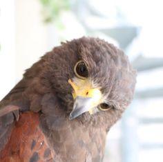 . 本日も朝10時からオープンします✨! . ぜひ可愛いフクロウやかっこいい鷹とふれあいに来てください�� . 皆様のご来店心よりお待ちしております☺️ . . ハリスホークの神楽より�� . . . ご来店の際は ホームページから予約もできます! ↓↓↓ http://owls-garden.jp ↑↑↑ 予約なしで飛び込みでも 承っております!�� (このInstagramアカウントの  ホームにHPリンクあります◎) . 皆様のご来店お待ちしております☺️✨ . . #フクロウのお庭 #ふくろうのお庭 #owlsgarden #owlcafe #owlscafe  #owl #hawk #falcon #bird #フクロウカフェ #ふくろうカフェ #ふくろう #フクロウ #鷹 #タカ #原宿  #harajuku #japan #tokyo  #travel #trip #tokyotrip #japantrip #travelgram #traveling #鷹匠体験…