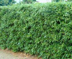 Homepage bamboekwekerij Bamboehaag bamboe voor hagen windsingels en afscheidingen of erfafscheidingen. Bamboescherm, Bamboeschutting