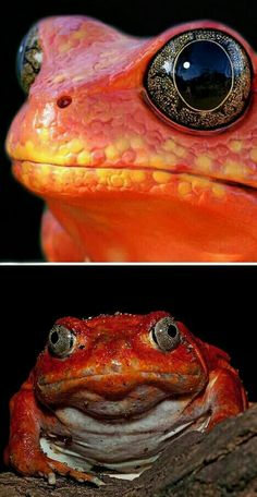 Madagascar tomato frog