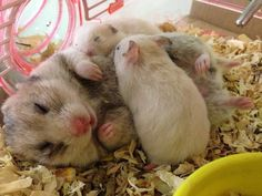 Hamster with babies Like Animals, Cute Little Animals, Little Pets, Animals And Pets, Funny Animals, Hamster Pics, Baby Hamster, Hamster Care, Hamster Stuff