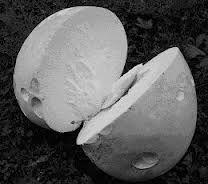 The edible ones are all white inside. Puffball Mushroom, Mushroom Fungi, Stuffed Mushrooms, Gardens, Magic, Cooking, Stuff Mushrooms, Kitchen, Outdoor Gardens
