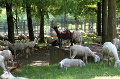 Pecore al parco della Colletta. Un metodo ecologico, sperimentato a #Torino dal 2007, per lo sfalcio e la concimazione dei prati. In questi giorni le pecore saranno al pascolo anche nel Parco della Confluenza, al parco Piemonte a Mirafiori Sud, mentre al Parco del Meisino (sull'altro lato della confluenza Po-Stura) ci saranno anche una sessantina di bovini.
