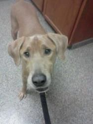Vinnie is an adoptable Labrador Retriever Dog in Corning, NY. Vinny- 3 year old lab/weimaraner mix. Vinny is neutered, appears to be housebroken, utd on vaccines and good with dogs (we aren't sure abo...