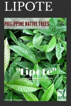 """LIPOTE (Syzygium polycephaloides) Aside from its medicinal uses, Lipote fruit are also used to make jams and wines. This native tree is found only in the Philippines!  """"Protect our trees, our forests- our source of life!"""" #PhilippineNativeTrees #NativeTrees#Rainforestation #KeepingitNative #ForestProtection  Source: Philippine Native Trees 101:Up Close and Personal Trees To Plant, Plant Leaves, Best Herbs To Grow, Forest Plants, Wood Tree, Flowering Trees, Native Plants, Forests, Landscape Architecture"""