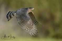 Welcome to © Wildfocus - browse outstanding wildlife images, upload photos into your own gallery and join the discussions. White Tailed Eagle, Sparrowhawk, Cooper's Hawk, Birds Of Prey, Flying Birds, Eagle Bird, Wildlife Conservation, Colorful Birds, Wild Birds