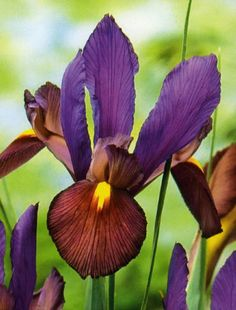 Buy Dutch iris bulbs ( syn Eye of the Tiger ) Iris 'Tigereye': Delivery by Crocus.co.uk