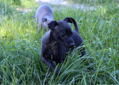Italian Greyhound (Sighthound) breeder in Europe Sunnymoon Place. You could buy Italian Greyhound puppy here. Italian Greyhound Puppies, Greyhounds, Black Boys, Puppies For Sale, Labrador Retriever, Places, Dogs, Animals, Italian Greyhound