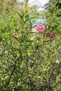 Bush penta plant.