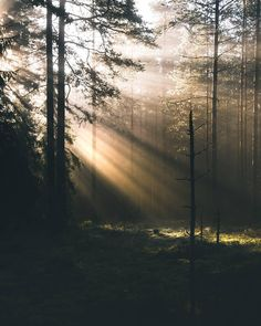 Sunlight streaming in through the trees in the woods.