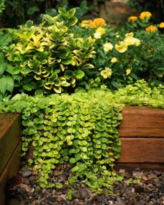 Creeping Jenny ...adds variety and gives a more complete look to pots when they spill over its sides.