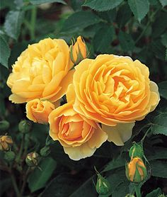'Graham Thomas' - gorgeous Hall of Fame English rose with rich yellow cupped flowers, large bright green leaves and dreamy tea rose scent. burpee.com