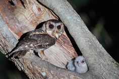 cute baby owls being fed a HORRIFYING  UGLY BUG!!!
