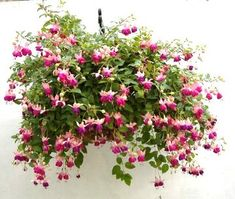 Fuchsia Plants for Hanging Baskets – These trailing plants drip with colour, literally. Large blossoms in combinations of fuchsia, mauve, purple and white are produced in great quantity, even with little direct sun. Keep moist and fertilize periodically.