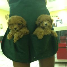 Apricot and Peaches, two new toy poodles at the store I work at :) www.facebok.com/thepuppyavenue