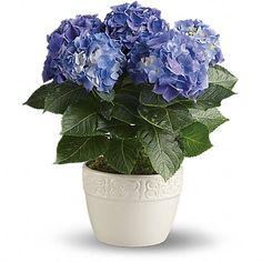 Hydrangea Care - Guide for Growing Hydrangeas Indoors. I really don't want to kill my pretty plant. Hydrangea Potted, Hydrangea Care, Blue Hydrangea, Potted Flowers, New Baby Flowers, Mothers Day Flowers, Avas Flowers, Spring Flowers, Wedding Flowers