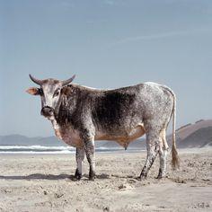 xhosa-nguni-bull-on-the-shore-1.Daniel Naude