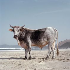 xhosa-nguni-bull-on-the-shore-1.Daniel Naude