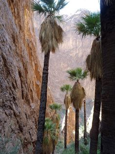 Palm trees in palm canyon, kofa nwr, just south of quartzsite.   For gold prospecting and rockhounding supplies, great outdoor gear, plus lots of great  rocks, minerals, fossils, and meteorites, check out RocksInMyHead™ website http://RocksInMyHead.biz For lots of awesome stories about our rockhounding and gold prospecting adventures, plus maps, info, photos and more go to Adventures With Rocks™ at http://JedidiahFree.blogspot.com.