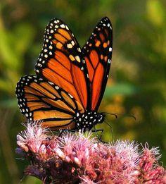 esta es la mariposa monarca
