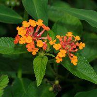 Orange Hawaiian Flowers - Lantana camara – Lantana