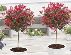 Pair of Evergreen Photinia Little Red Robin Trees - Trees for Containers - Shrubs & Trees - Garden Plants Photinia Red Robin, Photinia Fraseri Red Robin, Garden Trees, Garden Plants, Red Robin Tree, Garden Express, Baumgarten, All About Plants, Specimen Trees