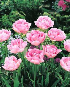 """gefuellte Tulpen """"Angelique"""""""