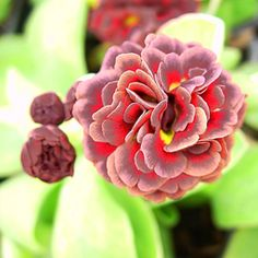 Primula auricula 'Brownie'  I LOVE auriculas. Gorgeous, and far easier than you might think.