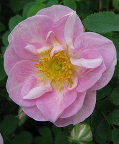 ~Mon Amie Claire Pimpinellifolia Skuggtålig 50-90cm 2 st/meter (3-5 i grupp) remonterande Zon ? FRITIDSGRUND sund ros en skatt i gruppen