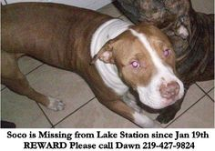 [[MISSING DOG]]Brown and white pittie missing from Lake Station IN, just in case he ends up out your way.  https://www.facebook.com/photo.php?fbid=10200499623518622=o.223022760106=1=nf