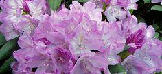 Rhododendron 'Roseum Elegans' - Rhododendron Hybride 'Roseum Elegans'