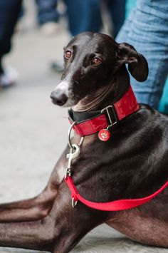 SOS Galgos, Barcelona Looks like a young Travis