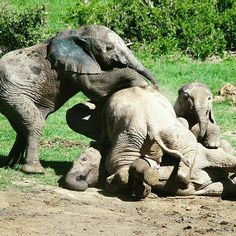 This photo made my day; it's melts me From : @elephilia -  Just playing  . . For info about promoting your elephant  art or crafts send me a direct message @elephant.gifts or email elephantgifts@outlook.com  . Follow @elephant.gifts for beautiful and inspiring elephant  images and videos every day! . #elephant #elephants #elephantlove