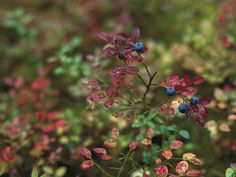 Blueberry (Vaccinium Myrtillus) Bush Fruiting, Ural Mountains, Pechora-Ilych Reserve, Russia