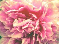 Peony ~ my favorite flower