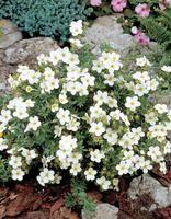 Pensashanhikki Sandved Plants
