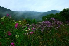 WV Mountain Wildflowers ~ Summers in WV are Gorgeous!