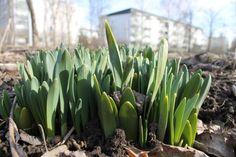 Spring flowers in Finland, Riihimäki