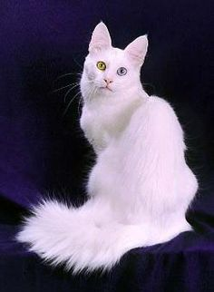 Turkish Angora Cat. What a beautiful animal. I like the fluffy tail and different colored eyes.