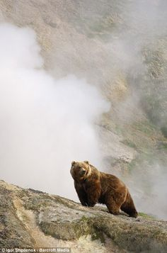 A bear stands in front of a steaming geyser in the Valley of the Geysers of Kronotsky Zapovednik, Russia