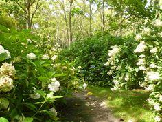 http://jardinsalanglaise.wordpress.com/2014/11/25/the-shamrock-hydrangea-collection-normandy/