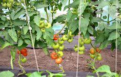 O practică mai puțin cunoscută, deloc complicată și cu efecte foarte bune pentru sănătatea plantelor și calitatea rodului. Diy And Crafts, Mai, Vegetables, Gardening, Agriculture, Plant, Varicose Veins, Lawn And Garden, Vegetable Recipes