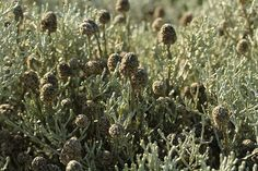 Leucophyta brownii (Cushion Bush) brown seed heads form as flowers fade