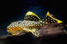 1000 images about plecos and other suckermouths on for Community fish list