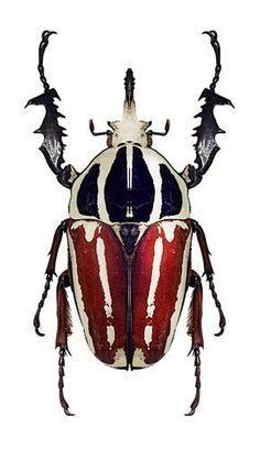 Goliath Beetle (Mecynorrhina ugandensis):