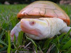 Albino Turtle !!